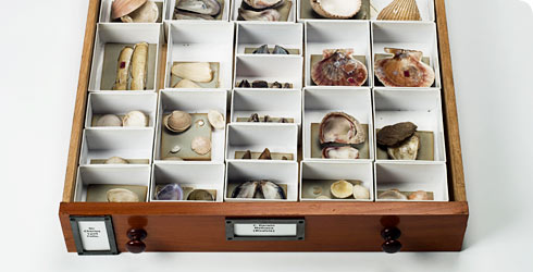 Shells collected by Charles Darwin.