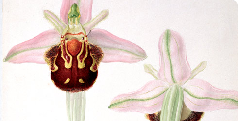 Ophrys apifera, bee orchid.