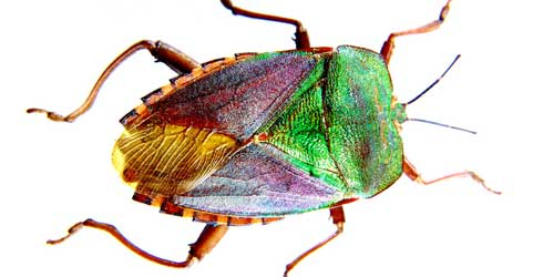 A shield bug