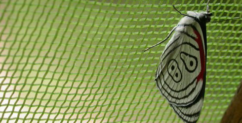 Caught butterfly