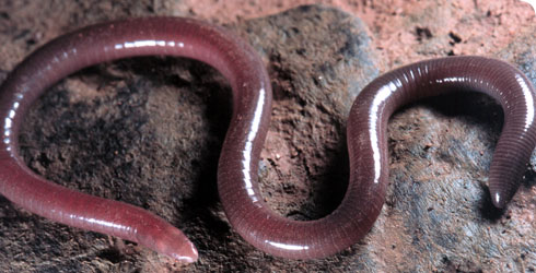 New species of caecilian amphibian
