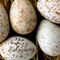 Indian birds egg