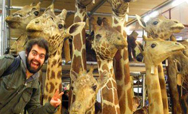 Giraffes in storage