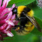 The great yellow bee Bombus distinguendus