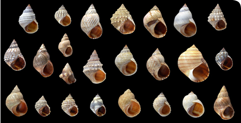 Littorinid snails