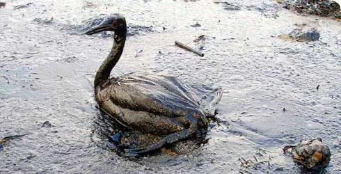An oiled bird from the Black Sea Oil Spill