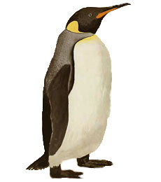 Watercolour of a king penguin by Georg Forster