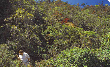 Fred Naggs searching for land snails in low vegetation in an area of montane rainforest close to Nuw