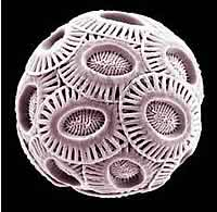 E.huxleyi Coccolithophore imaged in an electron microscope.