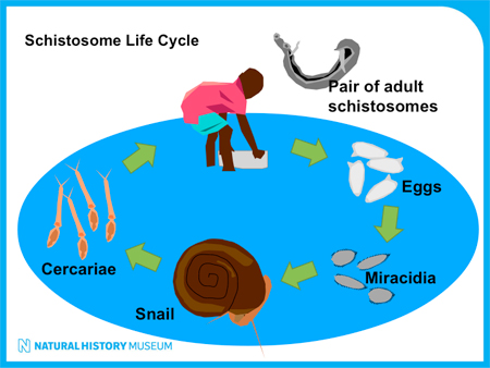 Schistosomiasis lifecycle