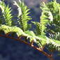 Tree ferns of Madagasgar