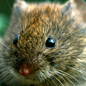 Microtus agrestis, field vole.