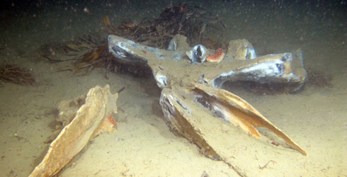 The whale remains where Osedax mucofloris was first found