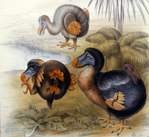 Illustration from Memoirs on the dodo by Sir Richard Owen, 1866