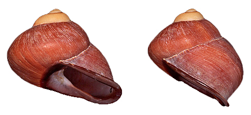 Different views of the shell of the land snail, Acavus superbus