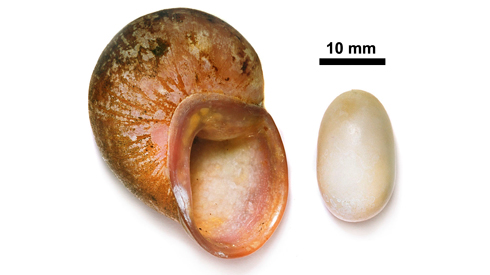 Egg of an Acavus snail alongside an adult shell