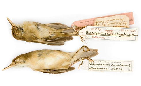 Large-billed reed warbler specimens