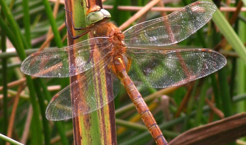 Aeshna isosceles the Norfolk Hawker dragonfly.