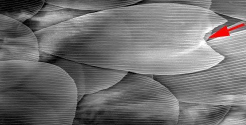 Wing scales