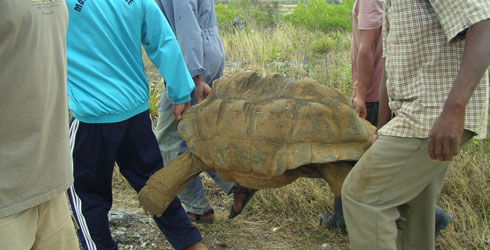 A large tortoise is carried by four men
