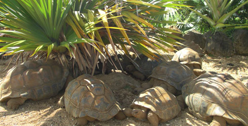 Tortoises seek the shade of Pandanus trees