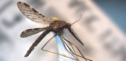 The mosquito Anopheles janconnae