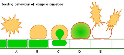 Schematic drawing of the feeding behaviour of Vampyrella lateritia,