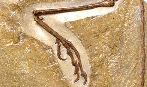 The foot of Archaeopteryx showing a reversed perching toe.