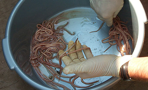 Ascaris worms