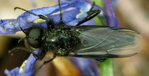 Male Bibio marci resting on a bluebell