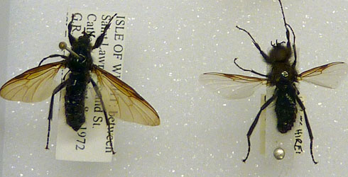Specimens of Bibio marci from the Natural History Museum