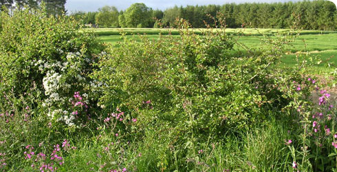 Scottish hedgerow in early summer