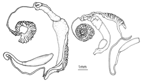 Illustration of the reproductive structures of Biomphalaria species