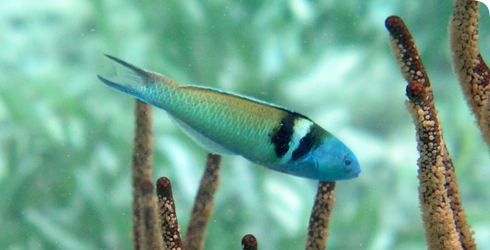 Blue-headed wrasse