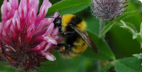 Bombus distinguendus on a red clover flower