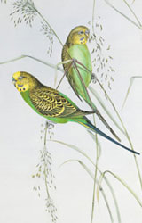 Budgerigar plate from Gould