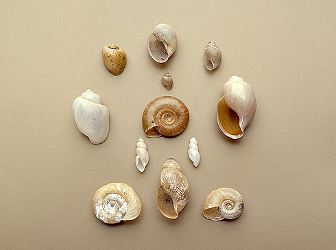 African snail shells from the Bulinus genus