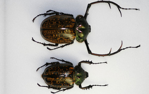 Male (l) and female (r) of Cheirotonus parryi