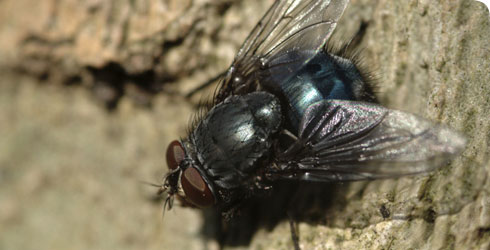 Close-up of a bluebottle (Calliphora sp.) in the Wildlife Garden at the Natural History Museum