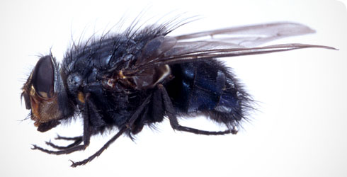 A mounted specimen of the urban bluebottle blowfly, Calliphora vicina