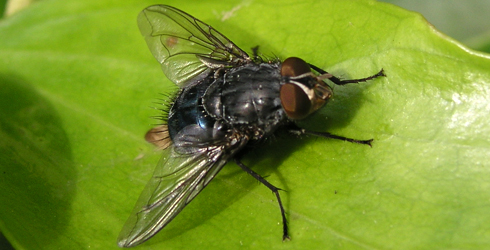 Calliphora vicina male