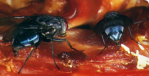 Calliphora vomitoria blowflies laying eggs on carrion