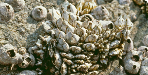 Capitulum mitella on a rocky surface