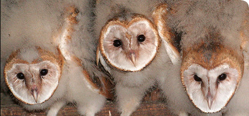 Common Barn owl