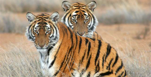A pair of South China tigers