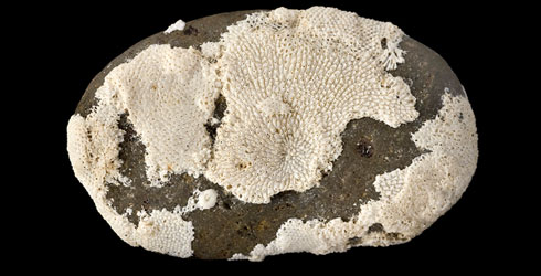 Cobble from Kuromatsunai encrusted by fossil bryozoans, including Cauloramphus disjunctus.