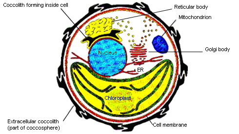 Diagram of an Emiliania huxleyi cell