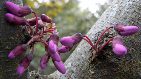 Blossom of the Judas tree, Cercis siliquastrum, growing directly on the trunk