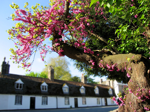 A Judas tree in Cambridge, UK