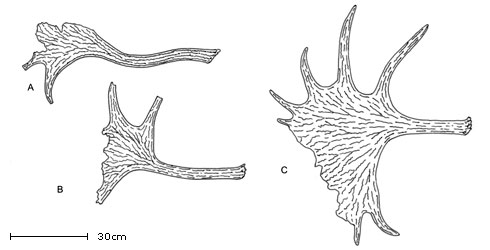 Cervalces latifrons line drawings